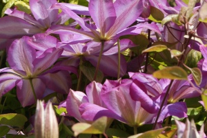 Close and clematis
