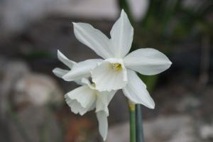 Double headed white daffodil