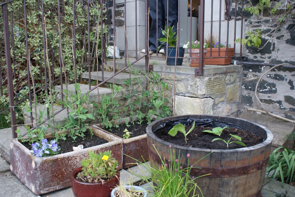 Courgettes in the barrel and sweet peas in the troughs
