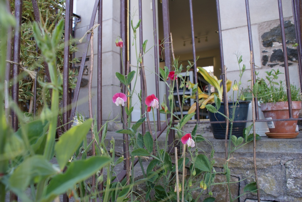 First sweet pea flowers of the year
