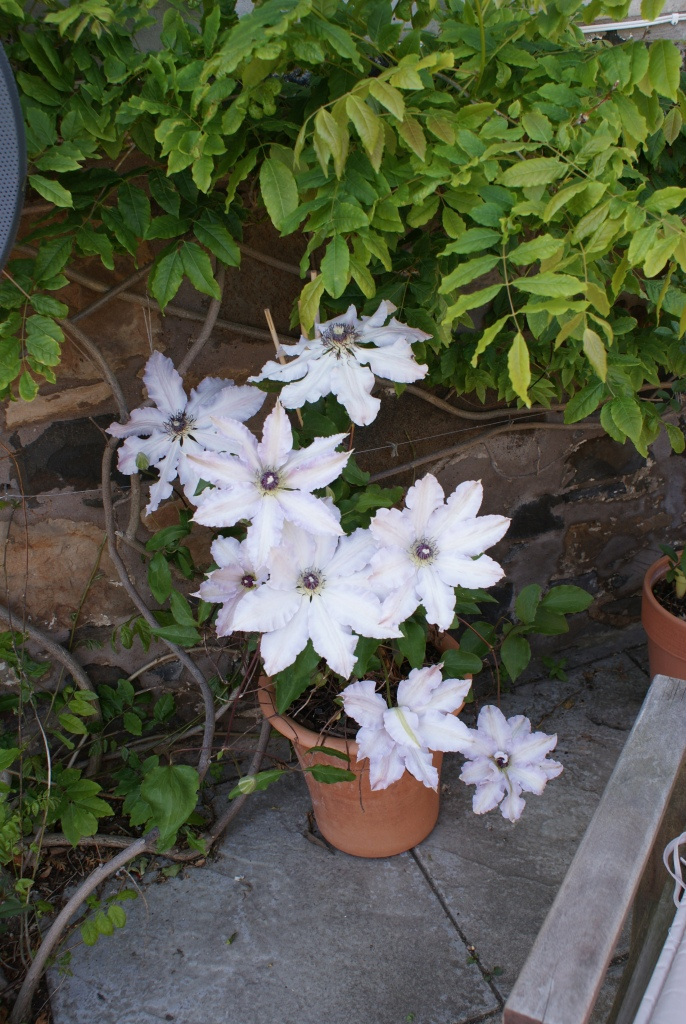 Potted Clematis
