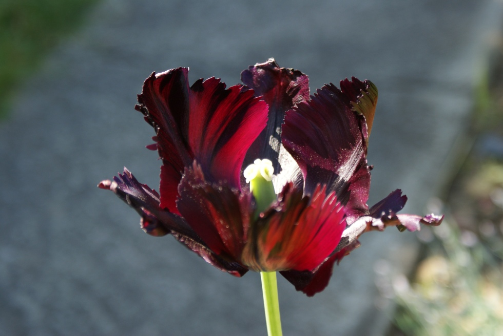 Parrot tulip still going strong