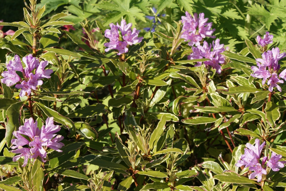 Rhododendron flowering this year