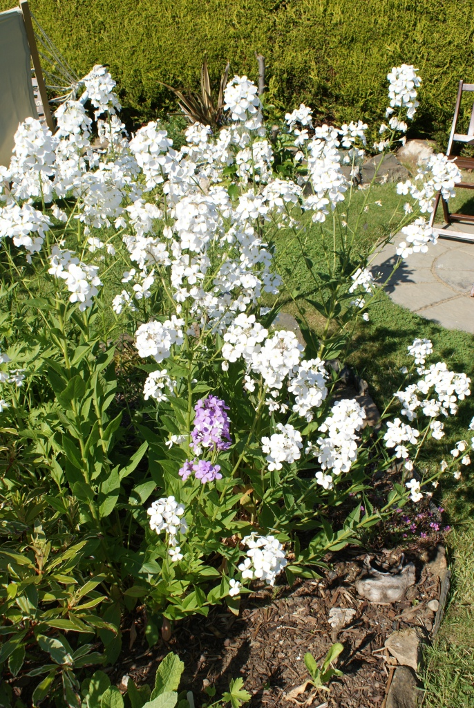 Wild rocket about 3 times the size of last year and with one weird purple bit!