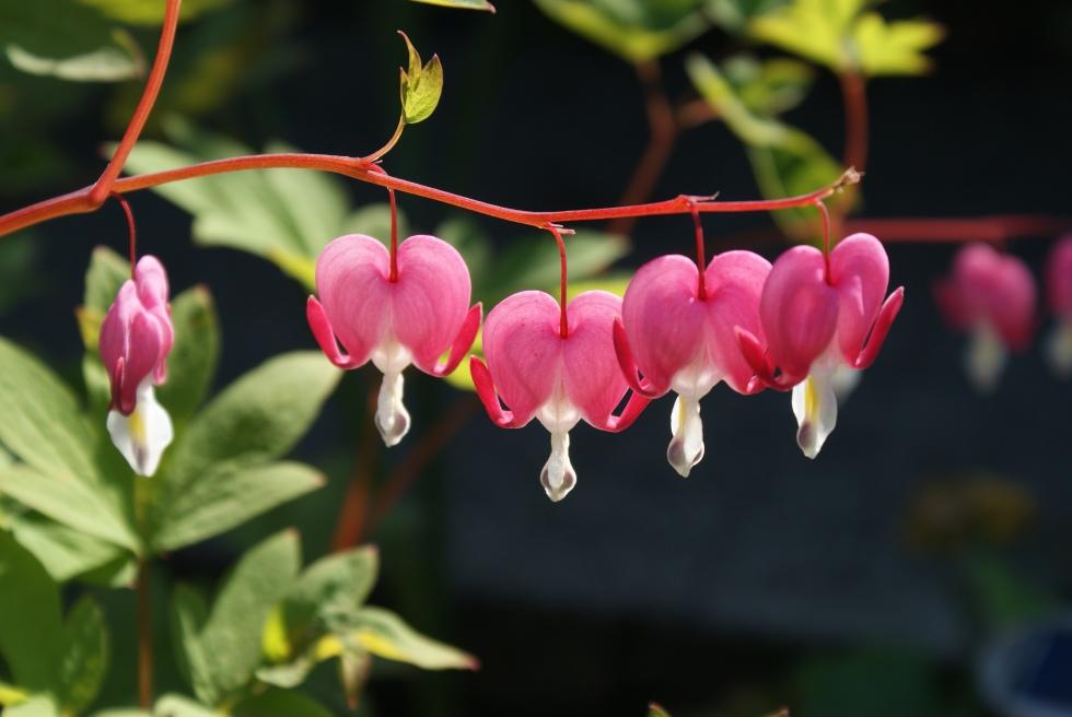 Bleeding Hearts still in bloom
