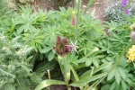 First of the giant aliums about to open