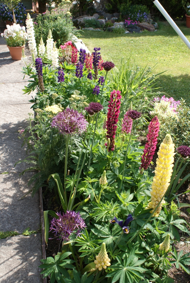 Lupins and aliums