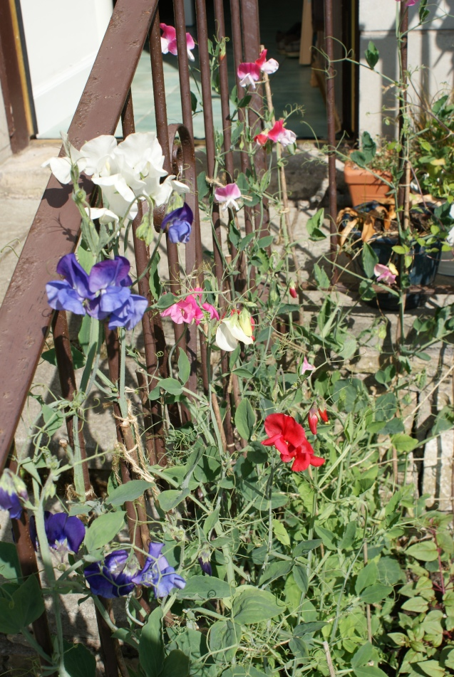 Sweet peas at the back steps
