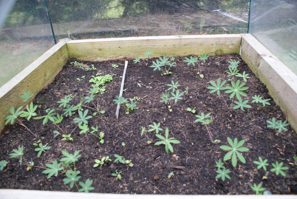 our lupin babies..grown from collected seeds. Also the ladybird poppy gave enough seeds for a corner of wee ones (back left).