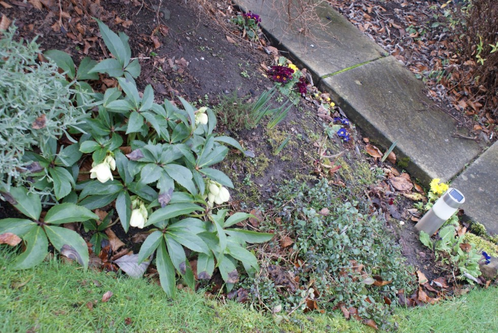 Last year the Hellebore had two flowers; this year it came up with bundles of them!